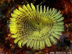 This yellow fanworm can be found under rocks and ledges. ... by Zaid Fadul 
